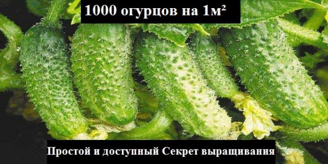 УЗНАЙТЕ КАК ВЫРАСТИТЬ 1000 ОГУРЦОВ НА 1М²!