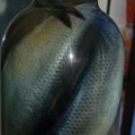 засолка скумбрии и селедки фото