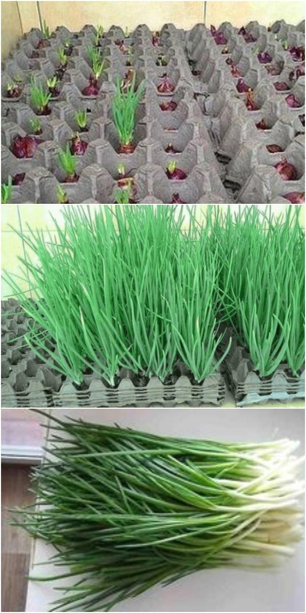 Интересный способ выращивания лука. Земля здесь не нужна.
