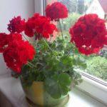 Герань. Уход и размножение. Секреты обильного цветения герани.