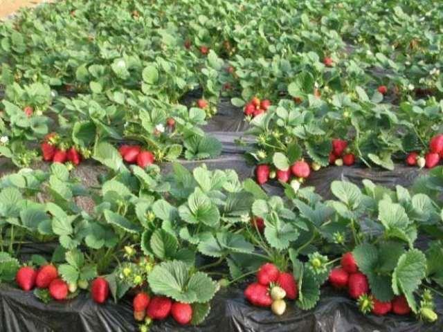 Удобрение для клубники – как повысить урожайность простыми способами?